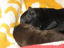 Foto 3 Kleine Kracher! Labrador Welpen | schwarz & schoko