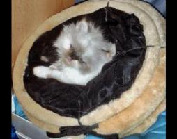 Kleine Kuschelperser m. P. suchen ab Anfang März neue Katzeneltern