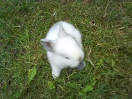 Foto 2 Kleine Löwenköpfchen+Zwergwidder Kaninchen in 5Wo abzugeben!!