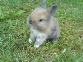 Foto 4 Kleine Löwenköpfchen+Zwergwidder Kaninchen in 5Wo abzugeben!!
