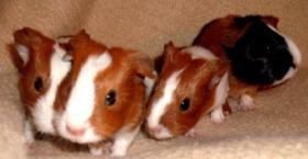 Foto 4 Kleine Meerschweinchen