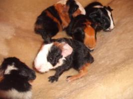 Foto 6 Kleine Meerschweinchen
