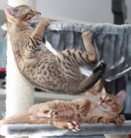 Kleine Nachwuchsleoparden: Geschwisterpaar Bengal - Siam zu verkaufen