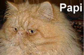 Foto 2 Kleine Perserkätzchen zu verkaufen