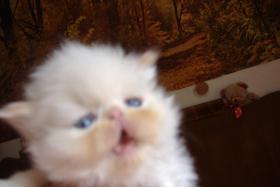 Foto 3 Kleine Perserkätzchen zu verkaufen