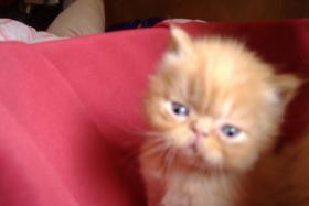 Foto 4 Kleine Perserkätzchen zu verkaufen