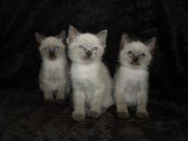 Kleine Thai Siam Kitten