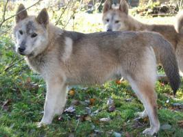 Kleine Wölfe, seltene Mischlinge