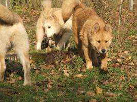 Foto 2 Kleine Wölfe, seltene Mischlinge