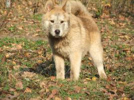Foto 3 Kleine Wölfe, seltene Mischlinge