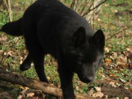 Foto 4 Kleine Wölfe, seltene Mischlinge
