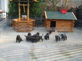 Kleine süße Herzensbrecher Labradorwelpen sucht noch nette Leute zum kuscheln und schmussen.