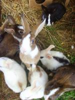 Foto 2 Kleine süße Kaninchen suchen ab sofort ein liebevolles zu Hause.
