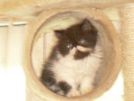 Foto 3 Kleine, süße Perserkitten (10 Wochen alt) in liebevolle Hände zu geben