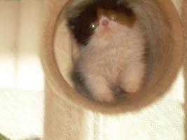 Foto 4 Kleine, süße Perserkitten (10 Wochen alt) in liebevolle Hände zu geben