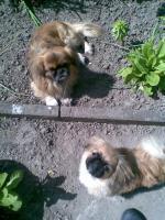 Foto 3 Kleiner Pekinesenjunge sucht liebev. neues Zuhause