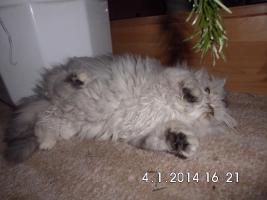 Foto 4 Kleiner Schmusetiger sucht neues Zuhause