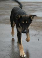 Foto 2 Kleiner Terrier-Schaeferhund  8 monate aus Russland