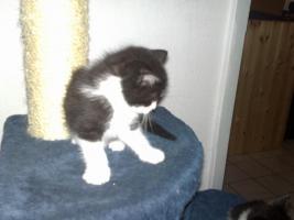 Foto 4 Kleiner frecher Kater (10 Wochen) sucht dringend neues zu Hause