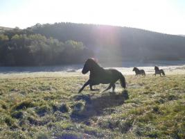 Foto 4 Kleiner privater Islandpferdehof in der Eifel
