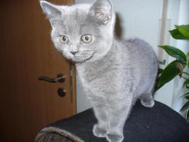 Kleines BKH Kätzchen