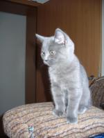 Foto 2 Kleines BKH Kätzchen