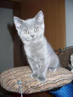 Foto 3 Kleines BKH Kätzchen