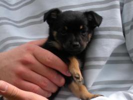 Kleines Chihuahua-Mädchen sucht neues Zuhause!!!