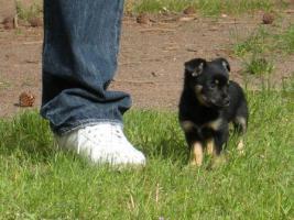 Foto 2 Kleines Chihuahua-Mädchen sucht neues Zuhause!!!