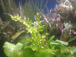 Kleines Wasserpflanzen-Set ''Garnelen'', 5 Bund Wasserpflanzen