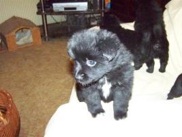 Foto 3 Kleinspitz - Chihuahua - Welpen