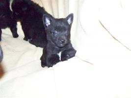 Foto 4 Kleinspitz - Chihuahua - Welpen