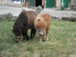Kleinsten Ponnys Fallabellas