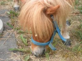 Foto 2 Kleinsten Ponnys Fallabellas