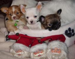 Klitzekleine reinrassigeTeacup Chihuahua Welpen !! Absolute Minis-Zuckersssüüüßßß