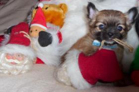 Foto 2 Klitzekleine reinrassigeTeacup Chihuahua Welpen !! Absolute Minis-Zuckersssüüüßßß