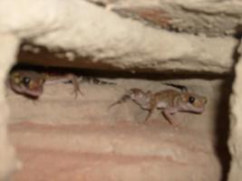 Knopfschwanzgeckos (Nephrurus Milii) P�rchen abzugeben! Wahlweise mit Terrarium.