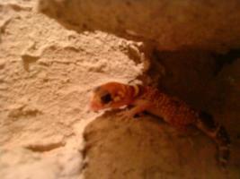 Foto 2 Knopfschwanzgeckos (Nephrurus Milii) Pärchen abzugeben! Wahlweise mit Terrarium.