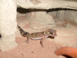 Foto 3 Knopfschwanzgeckos (Nephrurus Milii) P�rchen abzugeben! Wahlweise mit Terrarium.