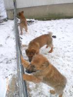 Foto 4 Knuddelige liebe Schäferhundwelpen