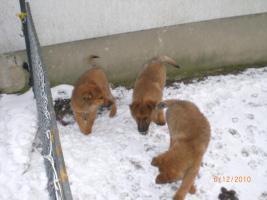 Foto 7 Knuddelige liebe Schäferhundwelpen