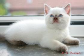 Knuffige BKH-Kitten mit Papieren