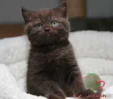 Foto 2 Knuffige BKH-Kitten mit Papieren