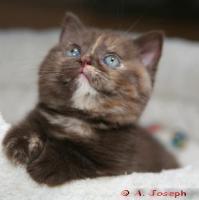 Foto 3 Knuffige BKH-Kitten mit Papieren