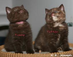 Foto 5 Knuffige BKH-Kitten mit Papieren