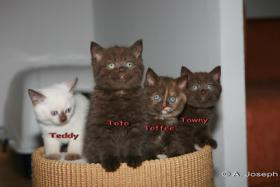 Foto 6 Knuffige BKH-Kitten mit Papieren