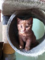Foto 3 Knuffige BKH-Kitten in verschiedenen Farben