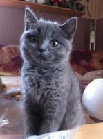 Knuffige BKH-Kitten in verschiedenen Farben