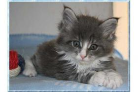 Foto 2 Knuffige Maine Coon Babys