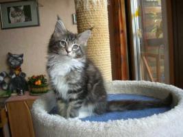Knuffige Maine Coon Kitten